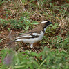 "White-browed Sparrow-weaver<br> ""Black-billed"" subspecies<br> <i>Plocepasser mahali melanorhynchus</i><br> Family <i>Passeridae</i><br> <br> Added to Life List: 1 February 2016"