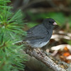 Dark-eyed Junco<br> Nominate subspecies<br> <i>Junco hyemalis hyemalis</i><br> Family <i>Emberizidae</i><br> <br> Added to Life List: 13 March 2007