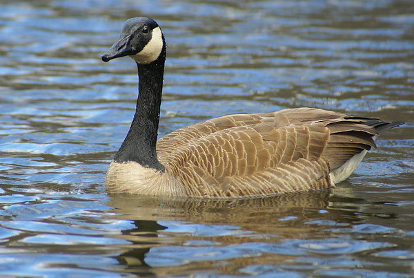 Canada Goose Nominate subspecies Branta canadensis canadensis Family Anatidae  Officially added to Life List: October 2006