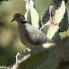 Ring-necked Dove<br> <i>tropica</i> subspecies<br> <i>Streptopelia capicola tropica</i><br> Family <i>Columbidae</i><br> <br> Added to Life List: 2 February 2016
