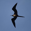 Magnificent Frigatebird<br> <i>Fregata magnificens</i><br> Family <i>Fregatidae</i><br> <br> Added to Life List: 2 January 2017