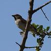 Kenya Sparrow<br> <i>Passer rufocinctus</i><br> Family <i>Passeridae</i><br> <br> Added to Life List: 2 February 2016