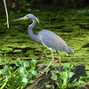 "Tricolored Heron<br> ""Louisiana"" subspecies<br> <i>Egretta tricolor ruficollis</i><br> Family <i>Ardeidae</i><br> <br> Added to Life List: 1 March 2009"