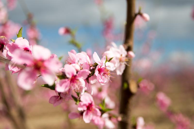 Honey Fires in Bloom