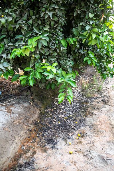 Mandarin field after June drop