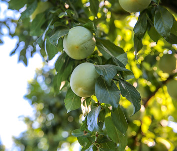 Emerald Beaut Plums