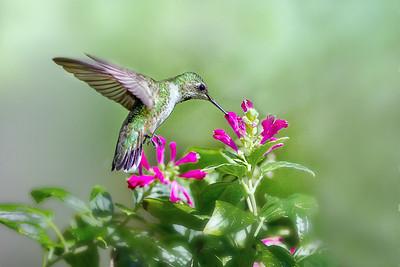 (HU3) Ruby Throated Hummingbird feeding on Purple Fountains Skullcap