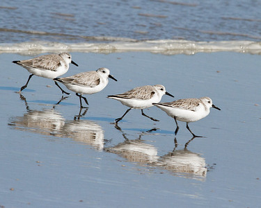 (SB26) Sanderlings near Ponce Inlet, FL