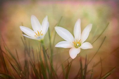 (F80) Rain Lilies