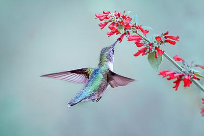(HU4) Ruby Throated Hummingbird feeding on Russelia Sarmentosa