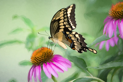 (A111) Giant Butterfly with a painterly effect