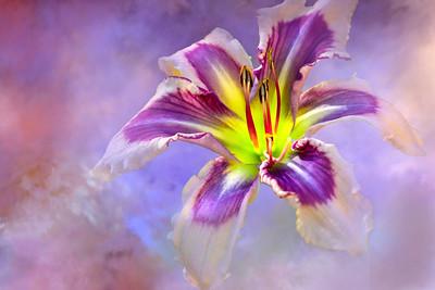(F94) Hybrid Lily