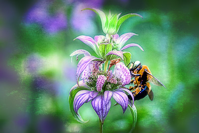 (F83) Bee on Dotted Horsemint Flower