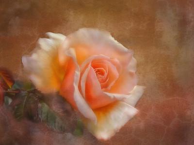(F79) Peach Rose