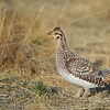 Every morning during the breeding season, the sharp-tailed grouse come to the lek to display, dance and compete for the females.
