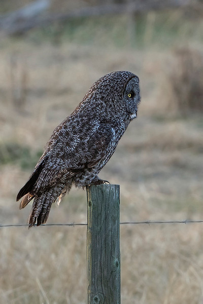 Click on 'Recent Shots' (top of gallery) and go to Great Grey Owl for more pictures of this beauty, taken a few days earlier.
