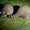 The video shows the raccoons busy finding seeds in the grass.  At the end you can see that there are 5 racoons present.
