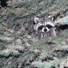 This was a young raccoon who visited us last year.  When I caught him in the act, he climbed into the evergreen tree and watched me looking for him.  It took a while before I finally saw him and got this shot.