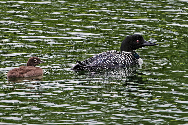 There was one adult and one young Loon.  She (we surmise) was busy diving and feeding her baby with creatures from the lake.