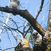 _DSC6036e Barred Owlets