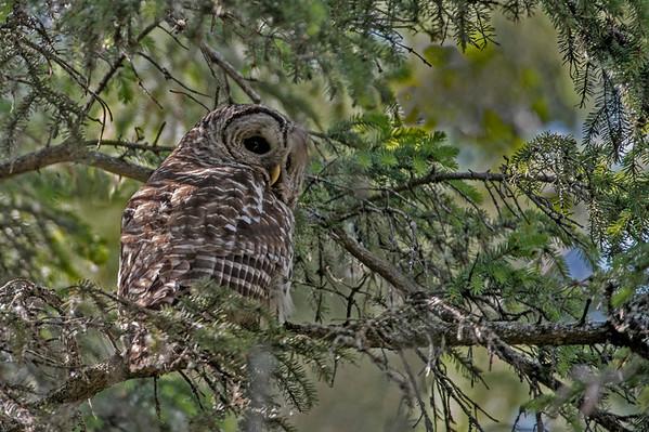 _DSC6153e Barred Owl Adult