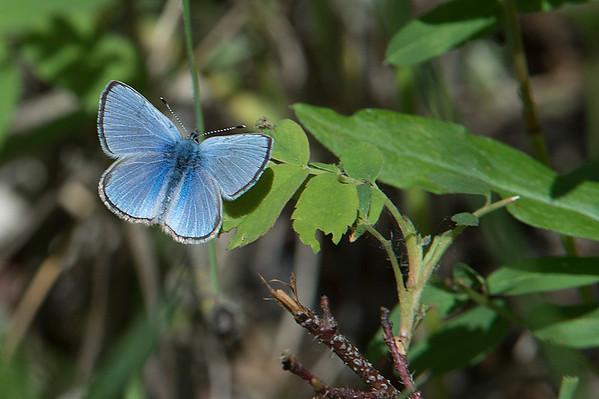_DSC6003e Spring Azure Butterfly