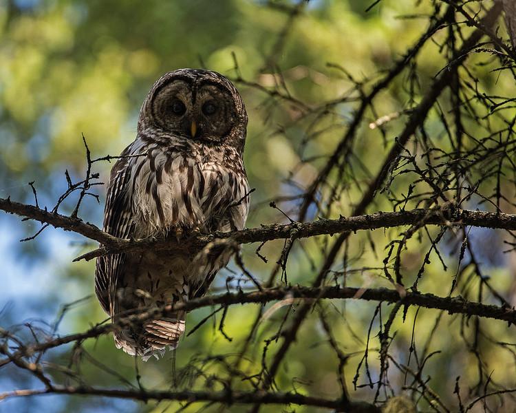 _DSC6241e2 Barred Owl Adult