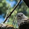 _DSC6043e Barred Owlet