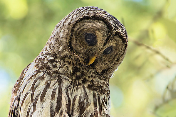 _DSC6263e2 Barred Owl Adult