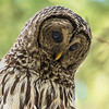 _DSC6263e2 Barred Owl Adult