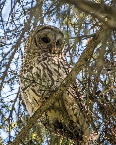 _DSC6205e Barred Owl Adult