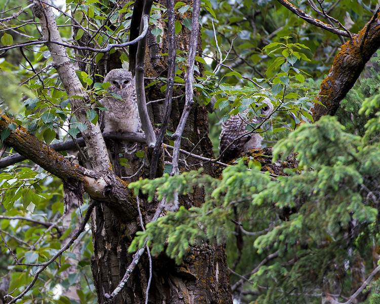 The two young were high up in a big old poplar tree, making very little noise.