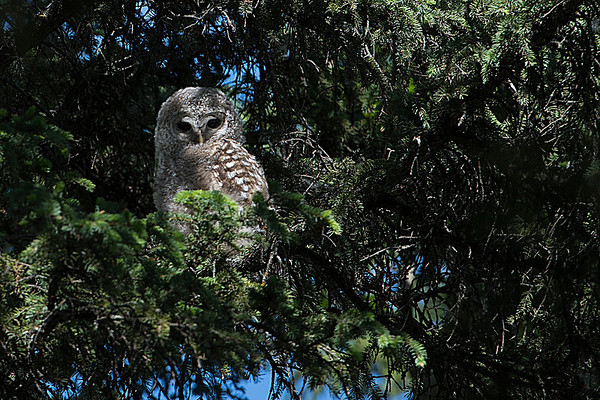 The third owlet was in an adjacent spruce tree, sitting very quite and hidden in the shadows..