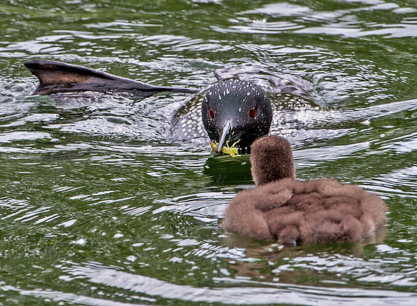 Not to be outdone by her offspring, the mother shows off her big foot while feeding the baby a yellow creature (shrimp maybe?).