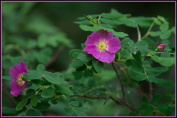 The wild roses, Alberta's flower, was just coming into bloom, witnessed by the deep pink flowers.