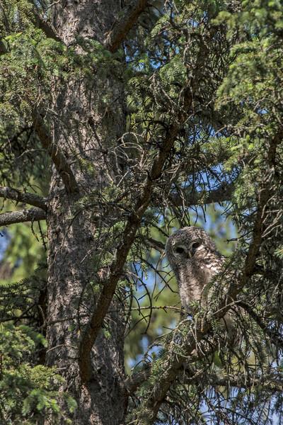 _DSC6116 Barred Owlet