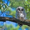 _DSC6090e Barred Owlet