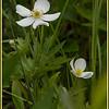 _DSC5738e Canadian Anenome