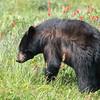 Black Bear in Indian Paintbrush