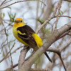 This Western Tanager was seen near the Mallard Point parking lot, just beside the pathway.