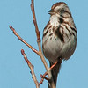 The song sparrows cheerful song is usually heard before you see it.  It is best identified by the heavy stripes on the breast often converging to a dark spot on the chest.