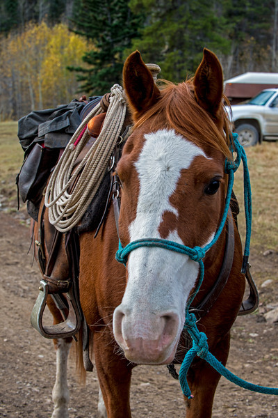 It takes a good horse and rider to be able to cut cattle without getting them excited.  This horse grew up with this activity and has become a valuable partner.