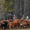 Carefully and slowly cattle are cut out of the herd