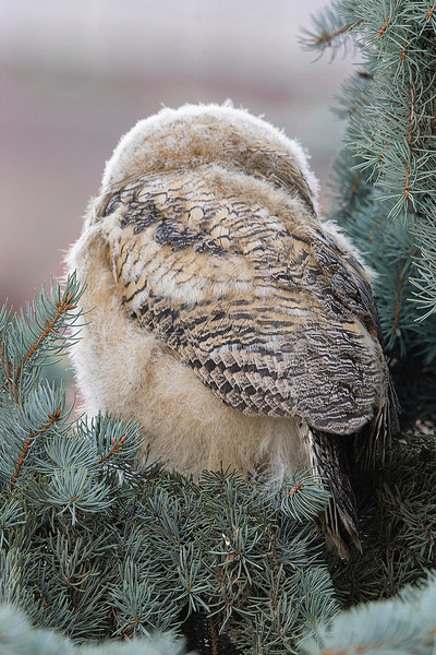 The owlet already shows the amazing feather patterns of the adult.
