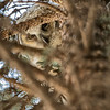 At first I didn't find the 3d owlet but he was peering down the tree keeping an eye on us.