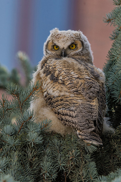 Classic owl pose, looking over their shoulder.