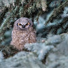 Once found, the Great Horned Owl offspring are worth the effort.  How cute is this?