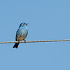 Mountain Bluebird male.