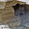 This female Great Horned Owl is occupying a nest in a cliff again this year.  The male was also at the site, flying off when he saw us.
