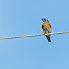 Western Bluebird male.  We don't normally see these birds here.  Their range is on the west coast including southern BC.